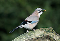 Jay Garrulus glandarius L 33-35cm. Colourful, wary bird identified in flight by white rump. Buries thousands of acorns each autumn. Sexes are similar. Adult and juvenile are mainly pinkish buff body except for white rump, undertail and lower belly. Wings are black and white with chequerboard patch of blue, black and white. Note black 'moustache', streaked pale forecrown, and pale eye. Voice Utters a loud and harsh scream. Status Fairly common woodland resident, commonest where oaks (and hence acorns) are plentiful.