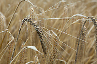 18.7.2020  Winter barley with black sold on in South Lincolnshire. <br />  ©Tim Scrivener Photographer 07850 303986<br />      ....Covering Agriculture In The UK.