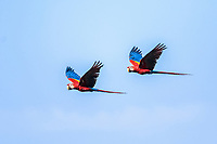 scarlet macaw, Ara macao, pair, flying, Corcovado National Park, Osa Peninsula, Costa Rica, Central America