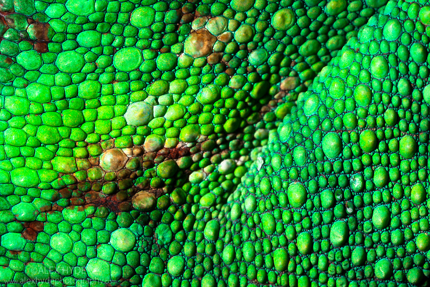 Panther Chameleon {Furcifer pardalis} close-up of skin. Madagascar.