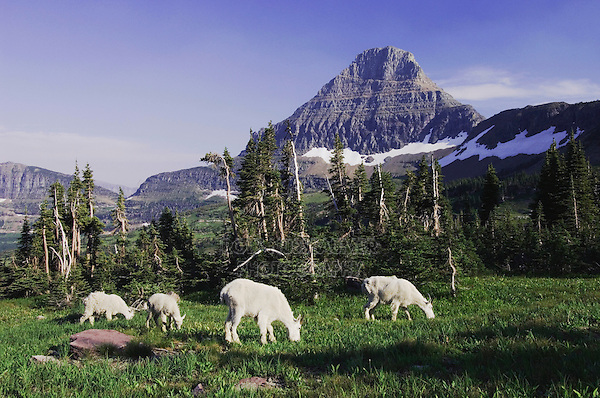 Mountain Goat,Oreamnos americanus, adults with young eating, Mount Reynolds in Background, Glacier National Park, Montana, USA, July 2007