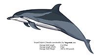 Striped dolphin, Stenella coeruleoalba, illustration by the artist Wyland