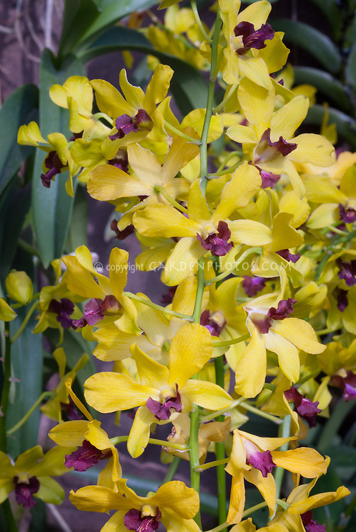 Dendrobium ThongChai Gold, yellow with purple lip, hybrid of Jiad Gold x Madame Uraiwan, 1992 cross