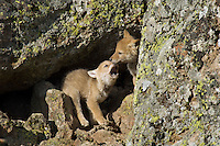 Wild Coyotes (Canis latrans) pups play at entrance to their den..  Western U.S., June.
