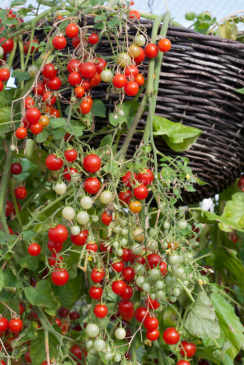 Cherry tomatoes 'Cherry Cascade' hanging from pot container basket, compact dwarf variety of vegetable