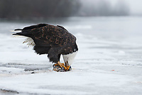 Bald Eagle (Haliaeetus leucocephalus) feeding on spawning chum salmon. Southeast, Alaska. December.