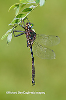 06556-00109 Clamp-tipped Emerald dragonfly (Somatochlora tenebrosa) male, Reynolds Co., MO