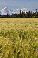 Field of Barley grain with Mount Moffit of the Alaska rang in the distance, Delta Junction, Alaska.