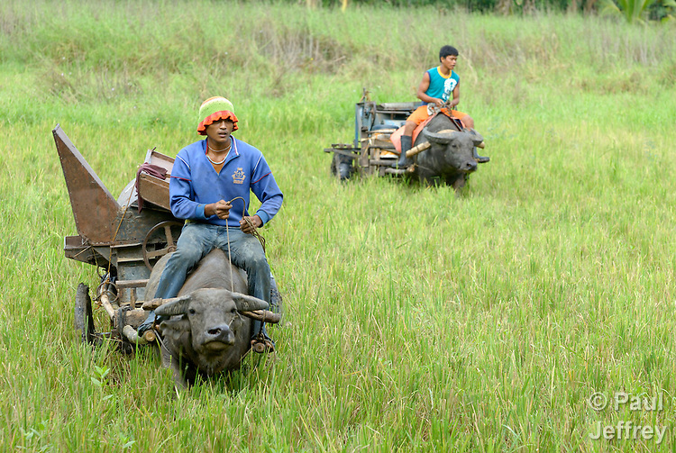 """Two farmers ride their water buffalo through a field in Nalapaan, one of seven villages near Pikit which has declared itself a """"space for peace."""" An initiative of the Immaculate Conception Parish in Pikit, the spaces for peace are villages where residents have told both the Moro Islamic Liberation Front and the Philippine military to desist from activity within the community. Residents also studied peacebuilding and conflict resolution,  and have made special efforts to increase interfaith dialogue and harmony."""