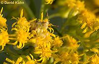 "1210-0908  Camouflaged Ambush Bug Adult on Goldenrod, Phymata spp. ""Virginia""  © David Kuhn/Dwight Kuhn Photography"