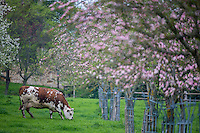 France, Calvados (14), Pays d' Auge, Saint-Martin-de-la-Lieue, Vaches normandes en pâturage et pommiers en fleurs, à la Ferme: Domaine Saint Hippolyte,  Manoir Saint-Hippolyte  // France, Calvados, Pays d' Auge, Saint Martin de la Lieue, Grazing cows , Normande Cattle, and flowering apple trees, Domaine Saint Hippolyte farm ,  Manor house Saint-Hippolyte