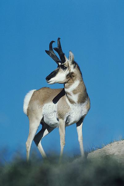 Pronghorn (Antilocapra americana), buck, Yellowstone National Park,Wyoming, USA