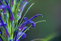 The native plant lobelia grayana flowers.