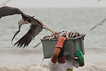In Puerto Lopez Ecuador men carry the fish from a little fishing boat to a truck for further transport. The frigate birds try to get their share. This bird succeeded.