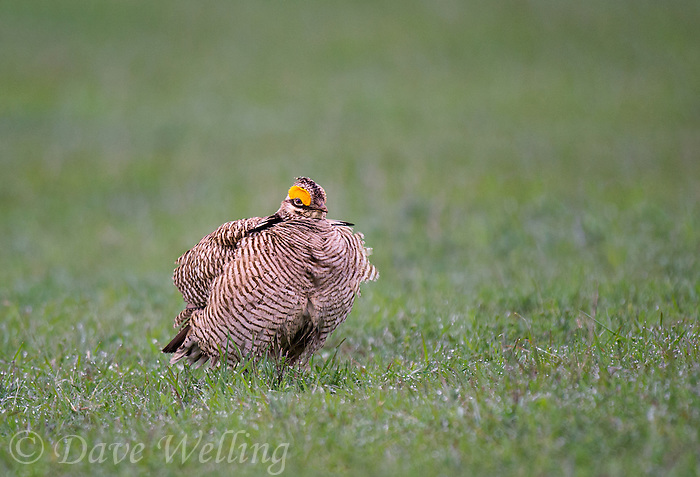 572110259 a wild lesser prairie chicken tympanuchus pallidicintus displays and struts on a lek on a remote ranch near canadian in the texas panhandle