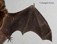 MA20-799z  Big Brown Bat close-up of wing details, Eptesicus fuscus