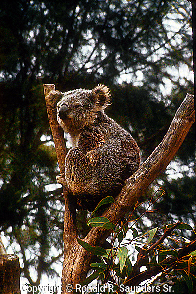 Koala perches in tree branch at Wildlife Sanctuary