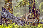 From the vantage of an acacia log, lionesses intently watch a herd of zebras pass by the edge of the forest in Ngorongoro Conservation Area of Tanzania.