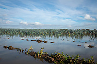 Leeks flooded following heavy rainfall - Lincolnshire, November