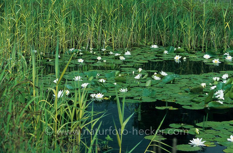 Teich, Tümpel, Gartenteich mit Seerosen, Weiße Seerose, Nymphaea alba, White Water Lily, European White Waterlily, White Lotus, Nenuphar, Schwimmblattpflanze, Schwimmblatt-Pflanze