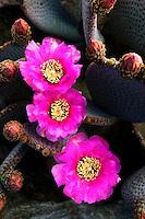 Beavertail cactus bloom (Opuntia basilaris). Joshua Tree National Park, California