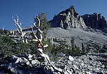 bristlecone pine trees and Wheeler Peak