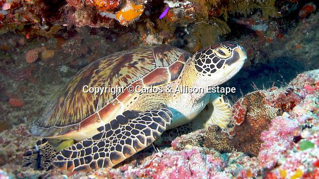 Green Turtle with Remora, Palau, Micronesia