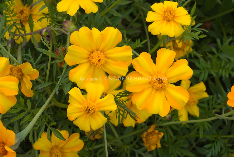 Tagetes patula La Bamba marigolds annual flowers in gold and yellow two tone striped . Tagetes La Bamba