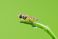 A female Syrphid Fly (Toxomerus geminatus) perches on the tip of a plant stem.