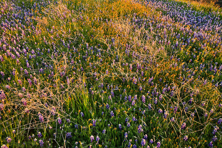 Lupin and Fiddleneck dominate a hillside along Zaca Ridge in the Los Padres National Forest, Santa Barbara County, CA.