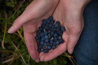 Bluberries are picked as they ripen on mountainsides above Eagle River, Alaska.
