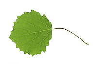 Zitterpappel, Zitter-Pappel, Pappel, Espe, Aspe, Populus tremula, Aspen, European aspen, quaking aspen, Le Peuplier tremble, Tremble, Tremble d'Europe. Blatt, Blätter, leaf, leaves
