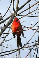 """0106-1004  Northern Cardinal """"Male"""" in Winter, Cardinalis cardinalis  © David Kuhn/Dwight Kuhn Photography"""