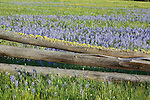 Camas Flower Meadow in the Big Hole Valley in western Montana