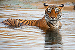 India, Rajasthan, Ranthambhore National Park, Bengal tigress walking into water, side view