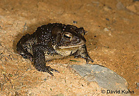 0304-0925  American Toad,  © David Kuhn/Dwight Kuhn Photography, Anaxyrus americanus, formerly Bufo americanus