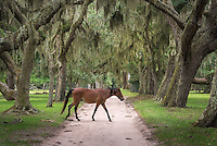 A ferrel horse crosses the oak lined alley off the dock entrance of Cumberland Island.