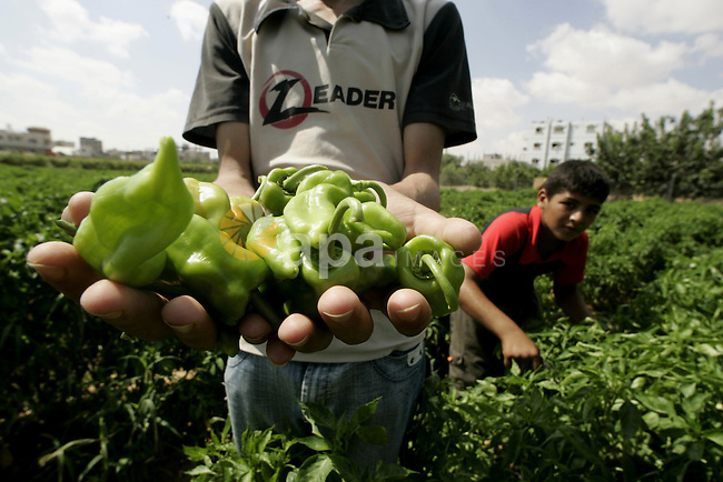 Palestinian farmers harvesting pepper ranch in Rafah the southern Gaza Strip on August 9, 2009. Palestinian farmers in the Gaza Strip suffer from the lack of  medicines and chemicals for the treatment of trees, because of the Israeli siege imposed on Gaza Strip crossings and Israeli military operations across the Hamas-run Gaza Strip has blocked Palestinian farmers from exporting their goods. Photo By Abed Rahim Khatib