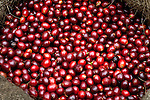 Coffee cherries on a coffee farm in western El Salvador.