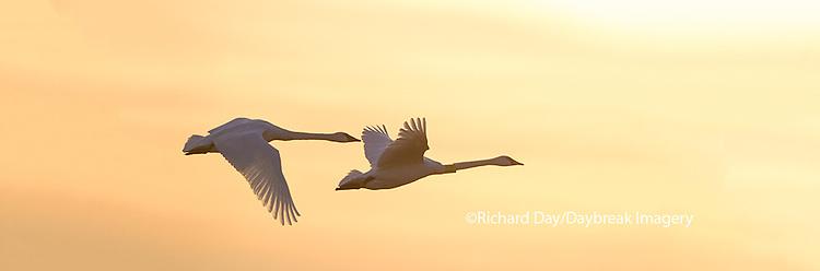 00758-01803 Trumpeter Swans in flight at sunset, Riverlands Migratory Bird Sanctuary, West Alton, MO