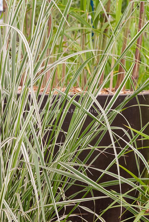Calamagrostis x acutiflora 'Overdam' ornamental variegated grass