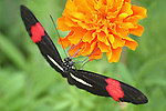 Small Butterfly, Erato Heliconian, Heliconius erato, Nectaring On Marigold Flowers, Longwing
