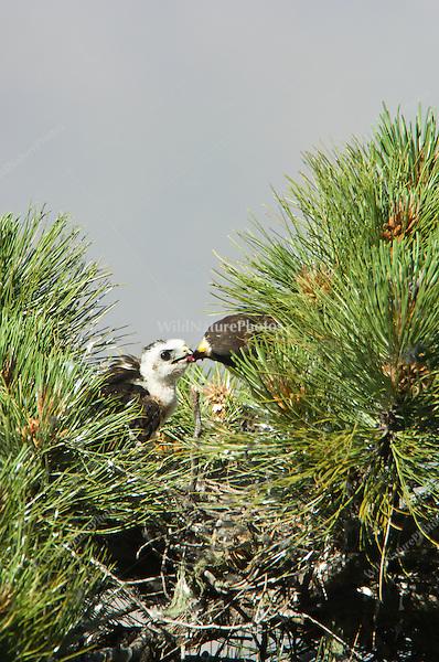 Short-tailed Hawk (Buteo brachyurus) nest, adult female feeding nestling; Arizona, (Nesting Record)