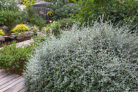 Teucrium fruticans, Shrubby bush Germander, silver gray foliage drought tolerant, summer-dry shrub in Judy Adler Garden, Walnut Creek, California