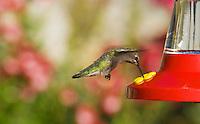 Anna's hummingbird, Calypte anna. Santa Cruz Mountains, California
