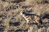 Aardwolf (Proteles cristatus), Karoo National Park, South Africa.