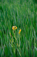 ORPTC_D141 - USA, Oregon, Portland, Crystal Springs Rhododendron Garden, Yellow flag aka yellow iris; an invasive herbaceous perennial plant growing in Crystal Springs Lake.