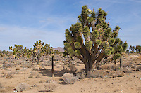 Yucca tree in Mohave desert