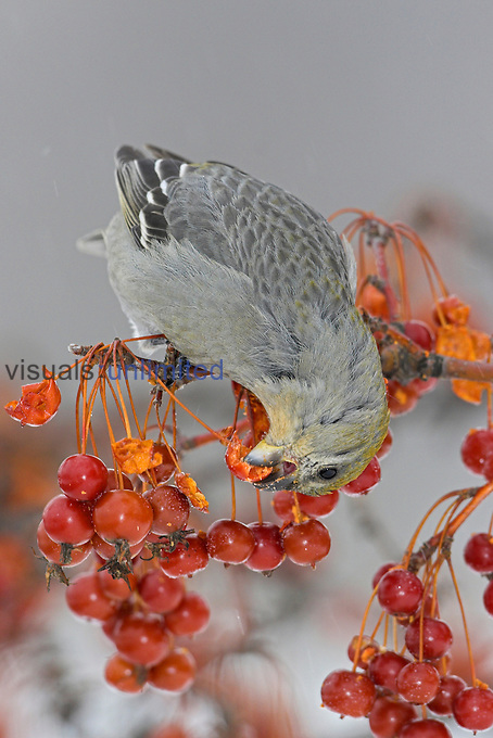 Pine Grosbeak (Pinicola enucleator) perched on a branch eating Crabapples, Ontario, Canada.