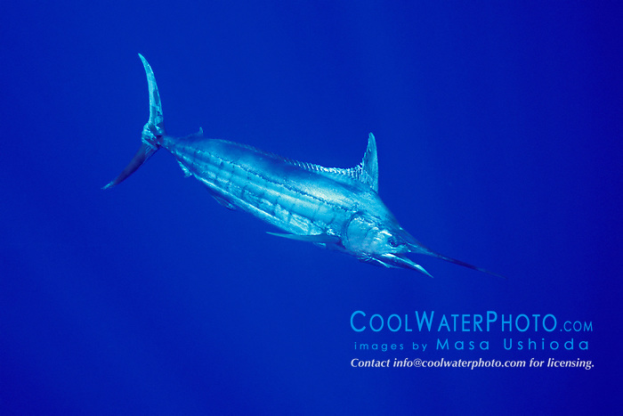 Blue Marlin, Makaira nigricans, off Kona Coast, Big Island, Hawaii, Pacific Ocean.